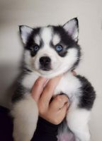 Pomsky Puppies for sale in Brooksville, KY 41004, USA. price: NA