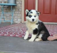 Pomsky Puppies for sale in Juneau, AK, USA. price: NA