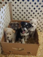 Pomsky Puppies for sale in Middlefield, OH 44062, USA. price: NA