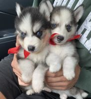 Pomsky Puppies for sale in North Hollywood, Los Angeles, CA, USA. price: NA