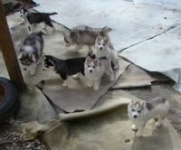 Pomsky Puppies for sale in Denver, CO, USA. price: NA