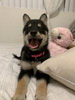Pomsky Puppies for sale in El Cajon, CA, USA. price: NA