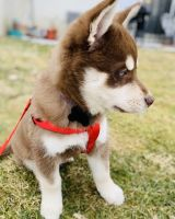 Pomsky Puppies for sale in Morristown, NJ 07960, USA. price: NA
