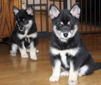 Pomsky Puppies for sale in 3953 N 76th St, Milwaukee, WI 53222, USA. price: NA