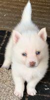 Pomsky Puppies for sale in Grant Park, IL 60940, USA. price: NA
