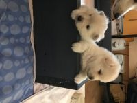 Pomsky Puppies for sale in Gatlinburg, TN 37738, USA. price: NA