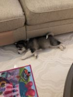 Pomsky Puppies for sale in Lindenhurst, IL 60046, USA. price: NA