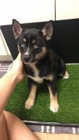 Pomsky Puppies for sale in Alexandria, VA 22304, USA. price: NA
