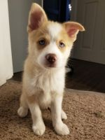 Pomsky Puppies for sale in Maple Valley, WA 98038, USA. price: NA