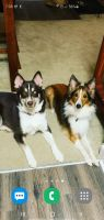 Pomsky Puppies for sale in St. Petersburg, FL, USA. price: NA