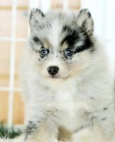 Pomsky Puppies for sale in Baldwin, NY 11510, USA. price: NA
