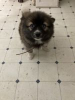 Pomsky Puppies for sale in Brodhead, WI 53520, USA. price: NA