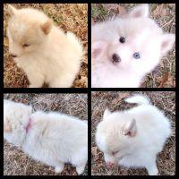 Pomsky Puppies for sale in Stillwater, OK, USA. price: NA