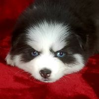 Pomsky Puppies for sale in Indianapolis, IN, USA. price: NA