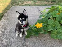 Pomsky Puppies for sale in Columbus, OH, USA. price: NA