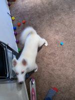 Pomsky Puppies for sale in 224 Verano Dr, Daly City, CA 94015, USA. price: NA