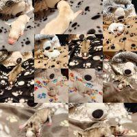 Pomsky Puppies for sale in Midland, MI, USA. price: NA