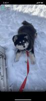 Pomsky Puppies for sale in Grand Rapids, MI, USA. price: NA
