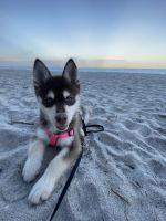 Pomsky Puppies for sale in Sarasota, FL, USA. price: NA