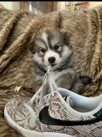 Pomsky Puppies for sale in Tullahoma, TN, USA. price: NA