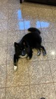 Pomsky Puppies for sale in Astoria, Queens, NY, USA. price: NA
