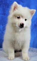 Pomsky Puppies for sale in Canfield, OH 44406, USA. price: NA