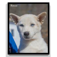 Pomsky Puppies for sale in Clare, MI 48617, USA. price: NA