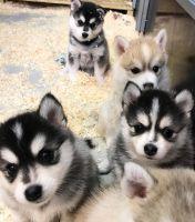 Pomsky Puppies for sale in California City, CA, USA. price: NA