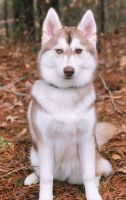 Pomsky Puppies for sale in College Park, GA 30349, USA. price: NA
