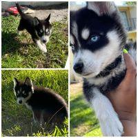 Pomsky Puppies for sale in Melbourne, FL, USA. price: NA