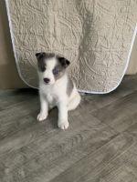 Pomsky Puppies for sale in Daytona Beach, FL, USA. price: NA