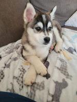 Pomsky Puppies for sale in Arlington, VA 22202, USA. price: NA