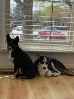 Pomsky Puppies for sale in Livonia, MI, USA. price: NA