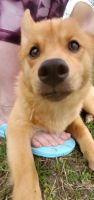 Pomsky Puppies for sale in Temperance, MI 48182, USA. price: NA