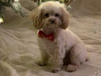 Poodle Puppies for sale in Andover, KS, USA. price: NA