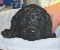 Poodle Puppies for sale in South Plainfield, NJ 07080, USA. price: NA