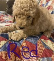 Poodle Puppies for sale in Flat Fork, KY 41465, USA. price: NA