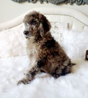 Poodle Puppies for sale in Cache, OK 73527, USA. price: NA