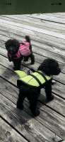 Poodle Puppies for sale in Danville, KY 40422, USA. price: NA