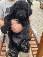 Poodle Puppies for sale in Foley, AL, USA. price: NA