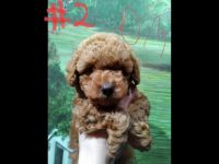Poodle Puppies for sale in Niota, TN, USA. price: NA