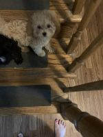 Poodle Puppies for sale in Mundelein, IL, USA. price: NA