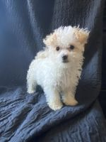 Poodle Puppies for sale in Buckeye, AZ 85326, USA. price: NA