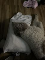 Poodle Puppies for sale in Baton Rouge, LA, USA. price: NA