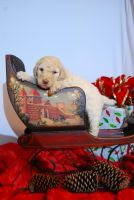 Poodle Puppies for sale in PT CHARLOTTE, FL 33981, USA. price: NA