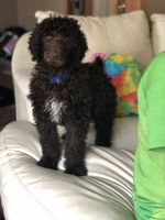 Poodle Puppies for sale in Kenosha, WI, USA. price: NA