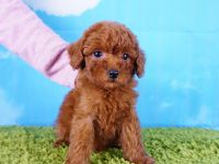 Poodle Puppies for sale in Las Vegas, NV 89113, USA. price: NA