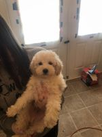 Poodle Puppies for sale in Williamstown, Monroe Township, NJ 08094, USA. price: NA