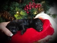 Poodle Puppies for sale in Lake George, CO 80827, USA. price: NA