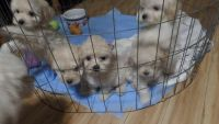 Poodle Puppies for sale in Lake City, FL, USA. price: NA